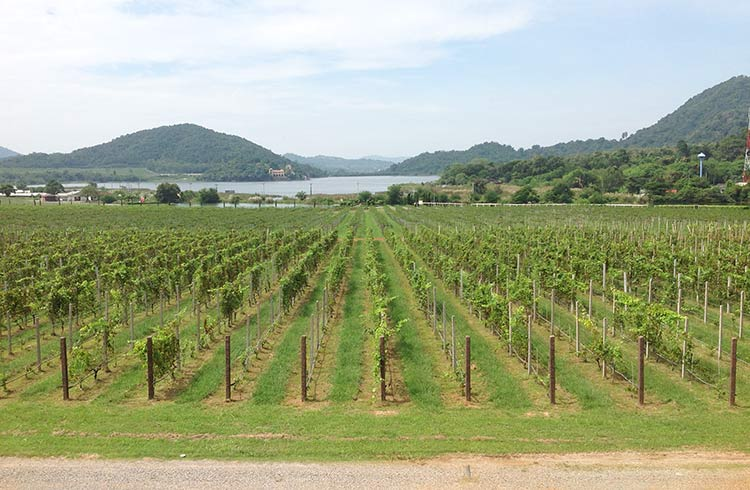 silverlake vineyard 2