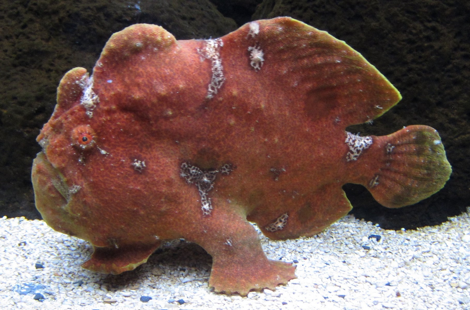 Commerson`s frogfish