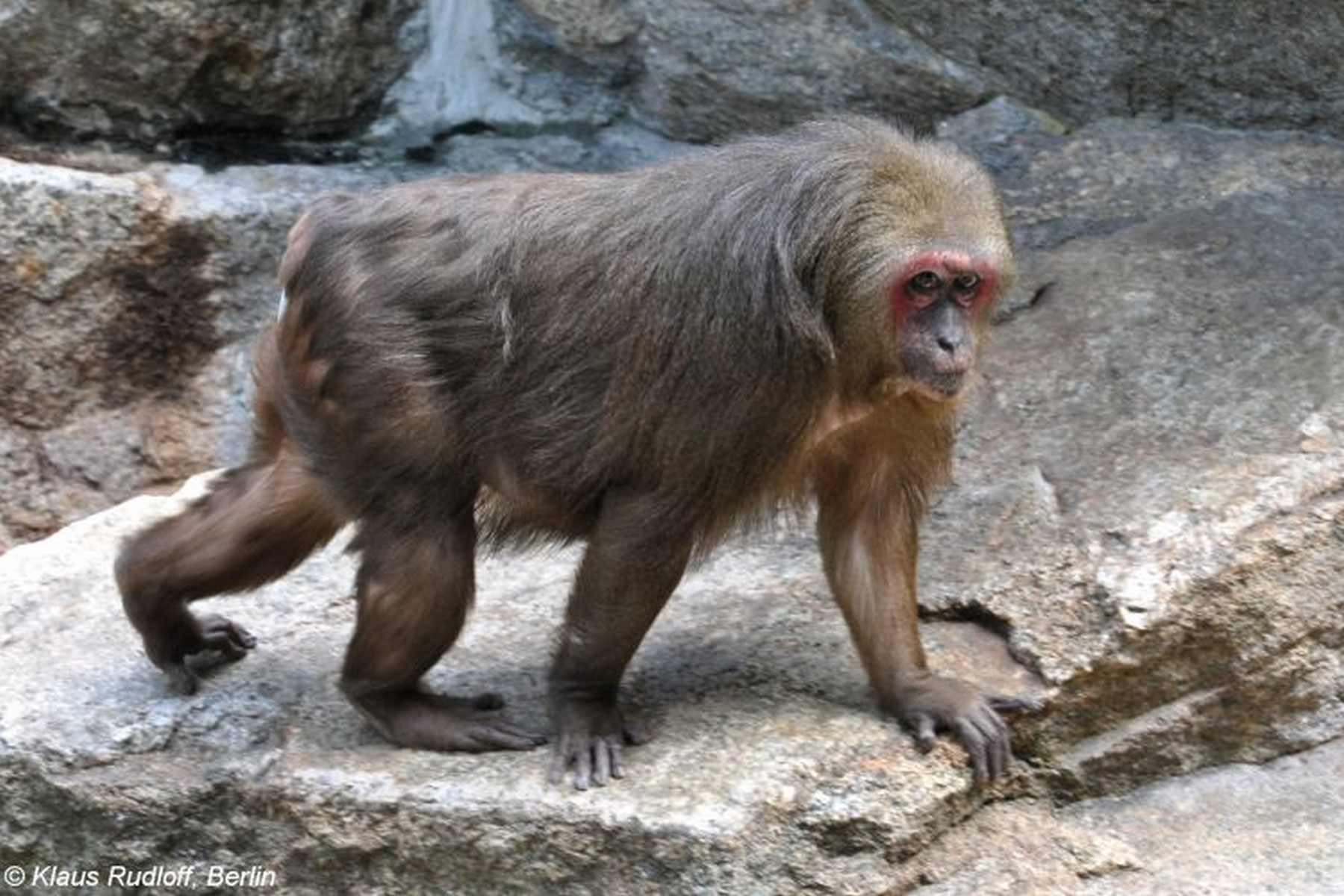 Stump tailed macaques