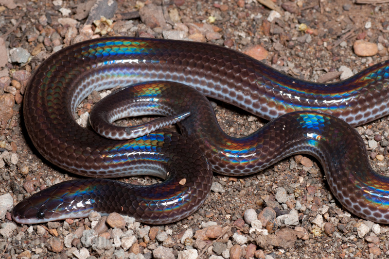 iridescent earth snake