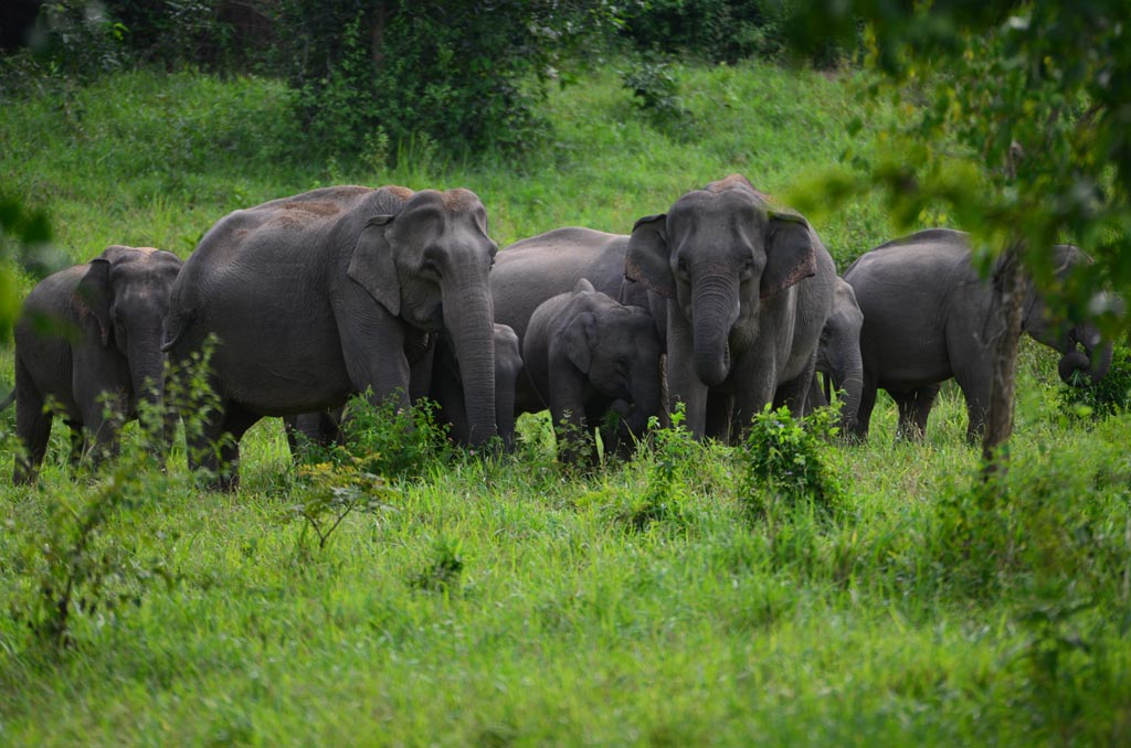 wild elephants in kui buri national park thailand