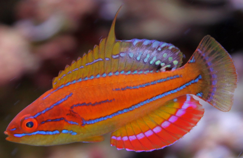 McCoskers Wrasse