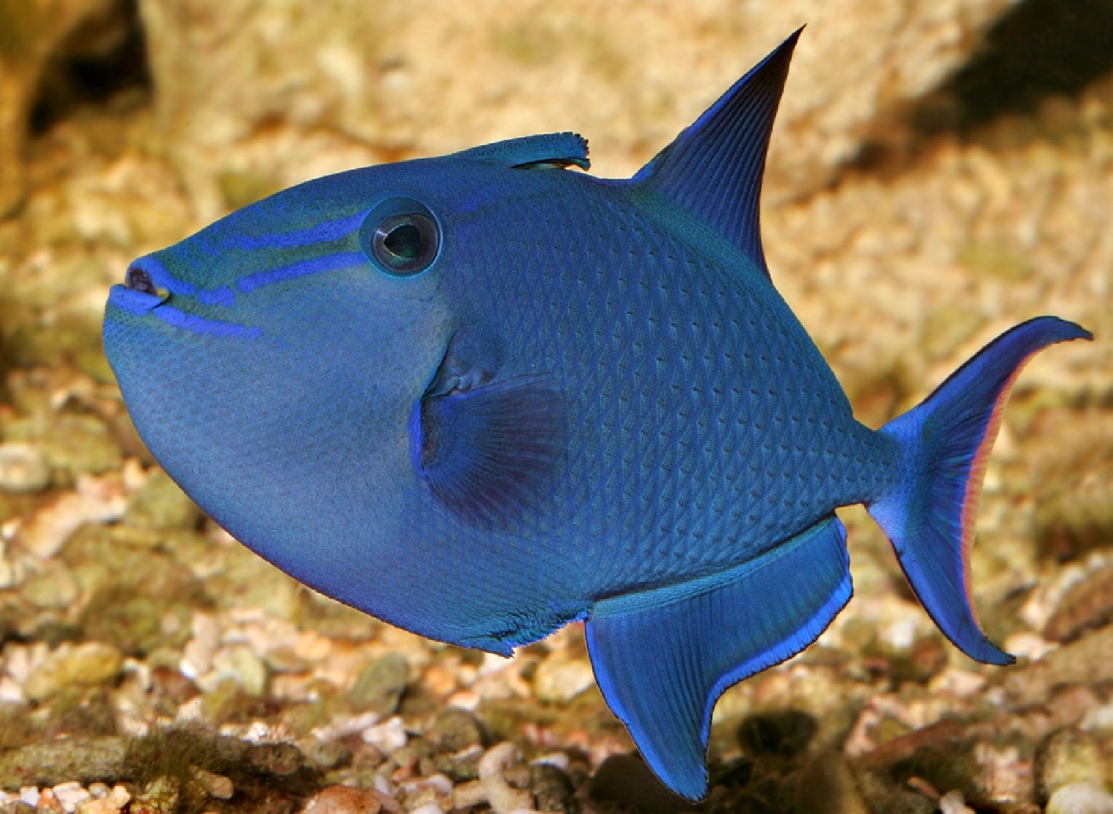 redtoothed triggerfish 1