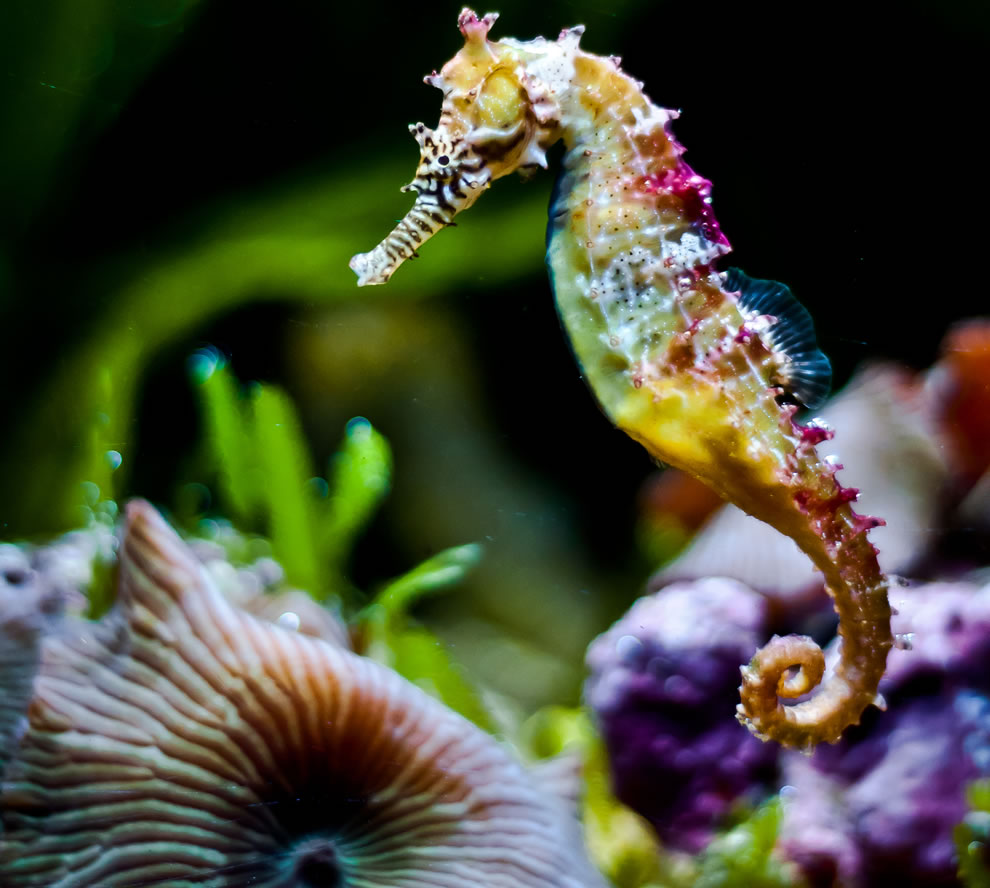 Rainbow colored seahorse