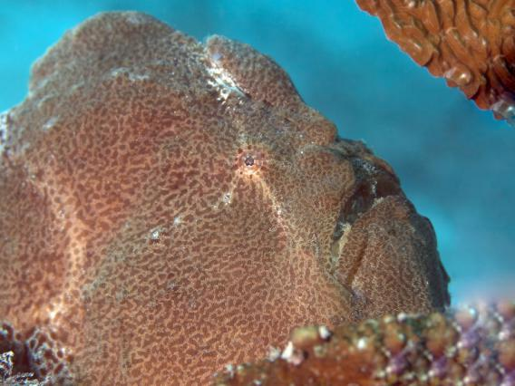 commersons frogfish antennarius commerson 640x426