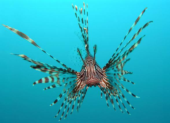 red lionfish pterois volitans 640x426