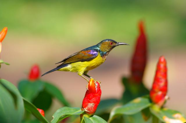 brown throated sunbird anthreptes malacensis 640x426