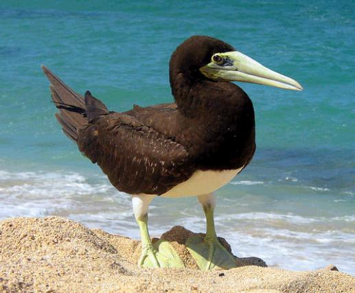 brown booby 640x426