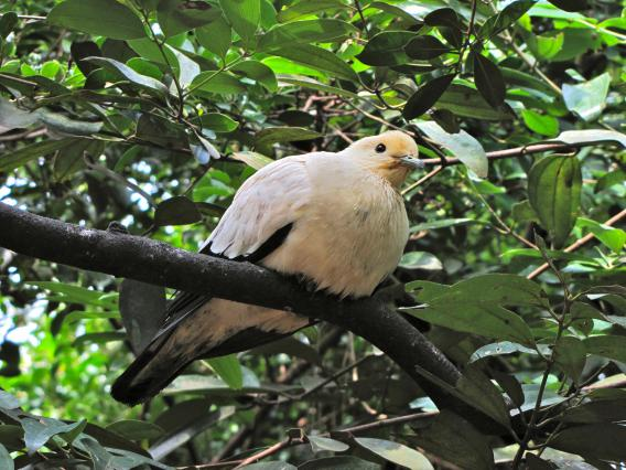 ducula bicolor pied imperial pigeon 640x426