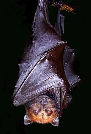 pteropus hypomelanus small flying fox 640x426