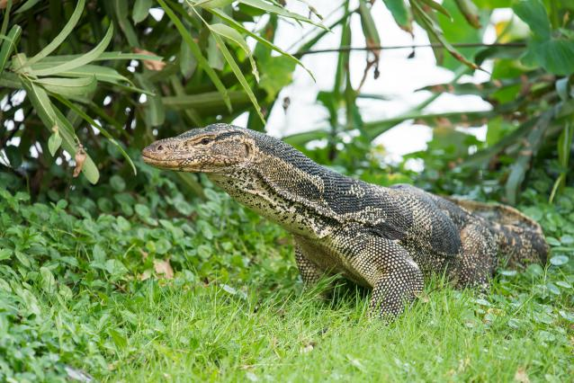 varanus salvator water monitor 640x426
