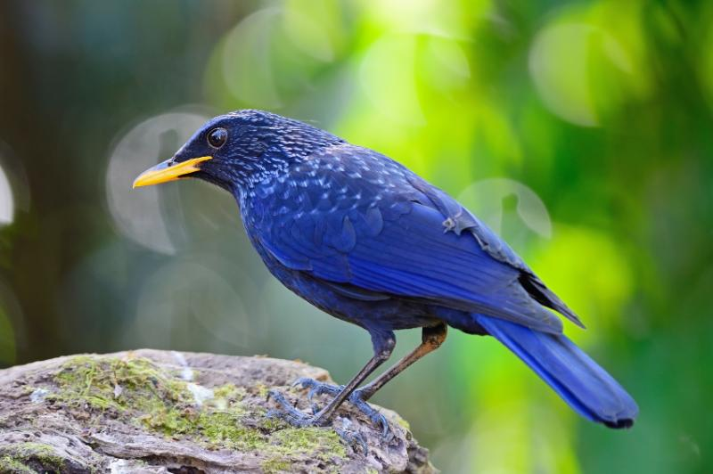 blue whistling thrush 800x600