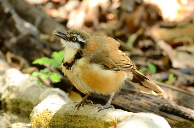 lesser necklaced laughingthrush garrulax moniliger 800x600
