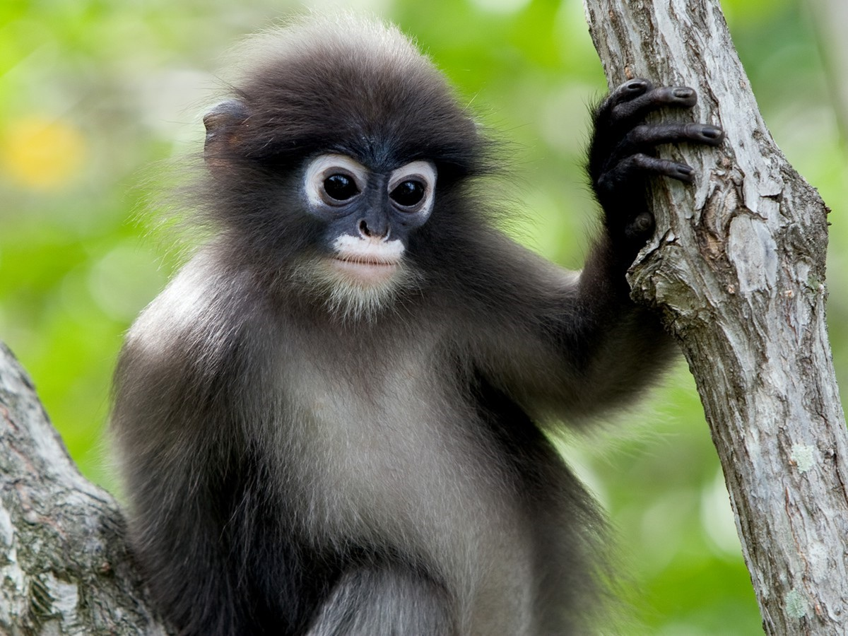 phayres langur animal photos