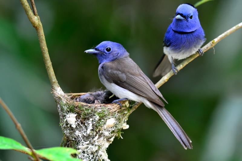 black naped monarch couple nest 800x600