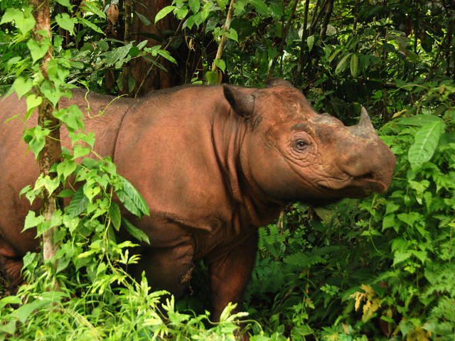 Sumatran rhino 3 (c) Bill Konstant International Rhino Foundation