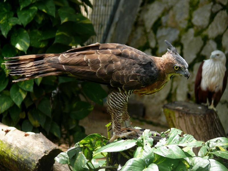 Wallace`s Hawk eagle