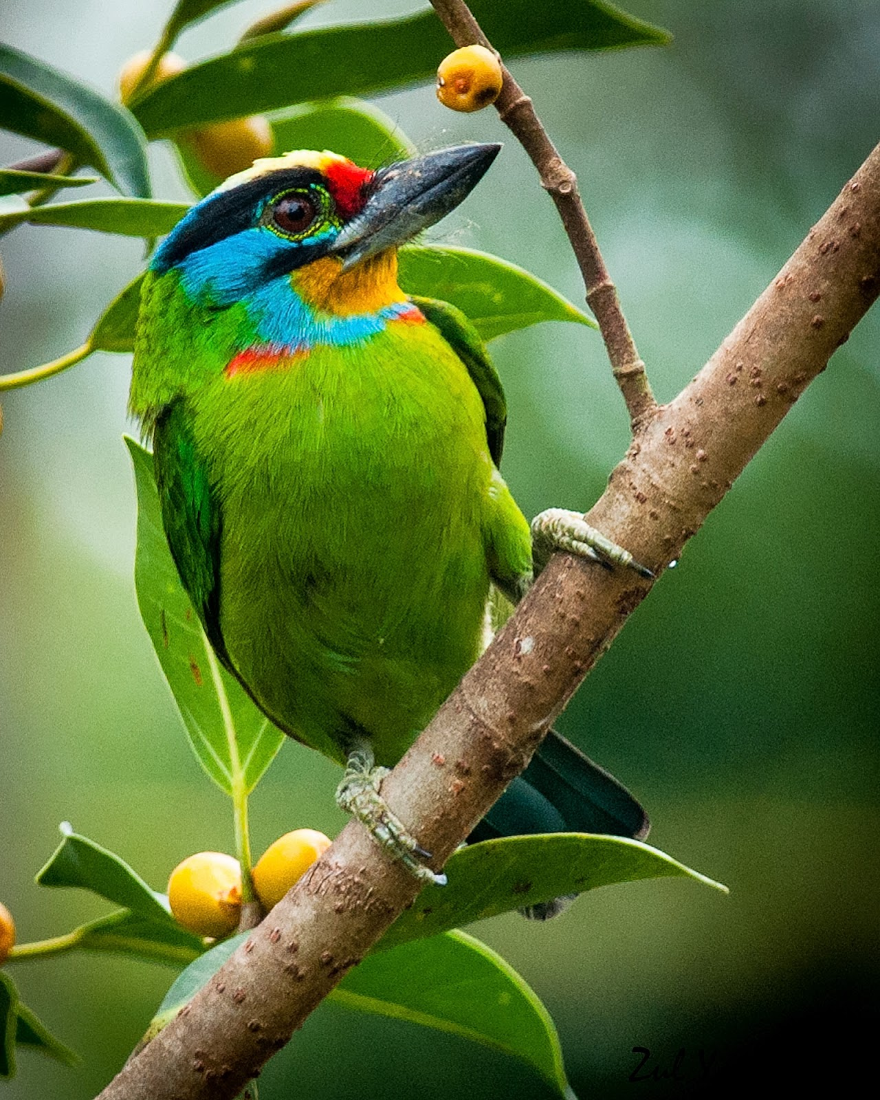 black browed barbet 1