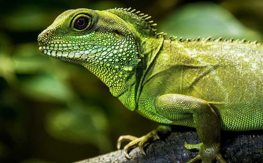 buy a chinese water dragon exotic pet