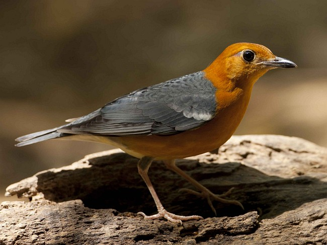 orangeheaded thrush copy2