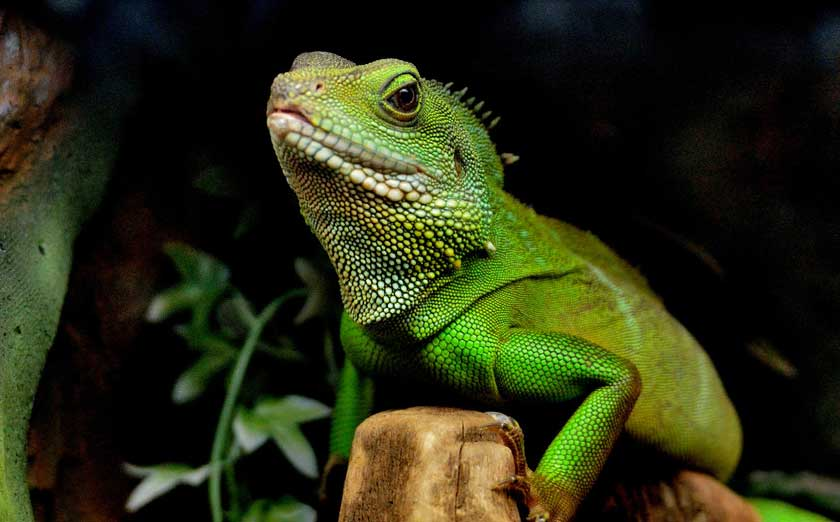 select ready breeding chinese water dragons