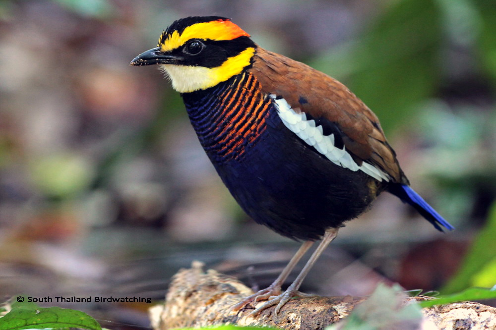 Banded Pitta M