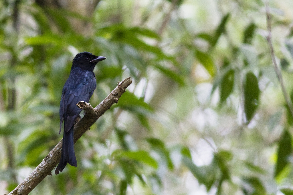 Crov billed drongo