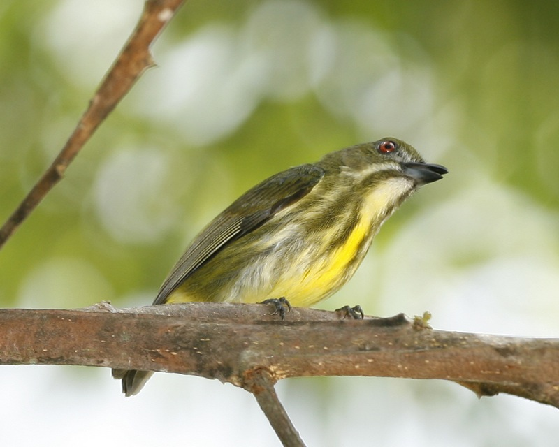 Yellow breasted Flowerpecker