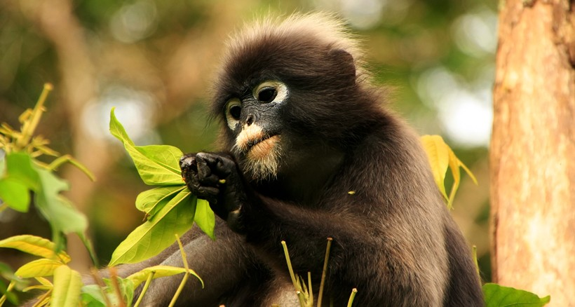 dusky leaf monkey eating leaves in tree 820x438