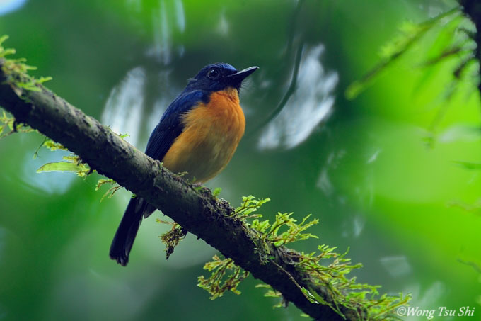 large billed blue flycatcher2