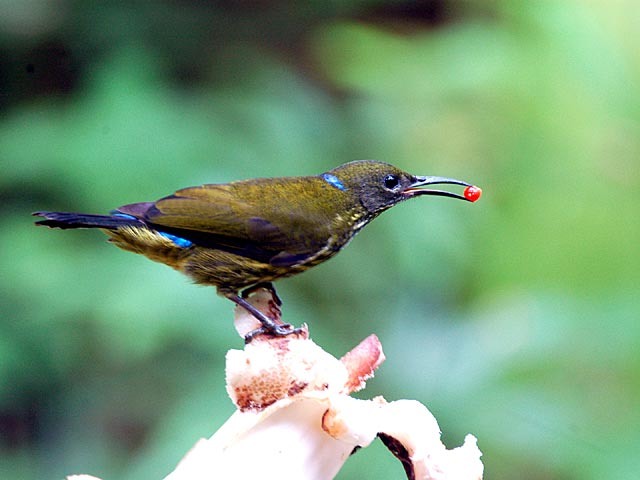 purple naped sunbird5