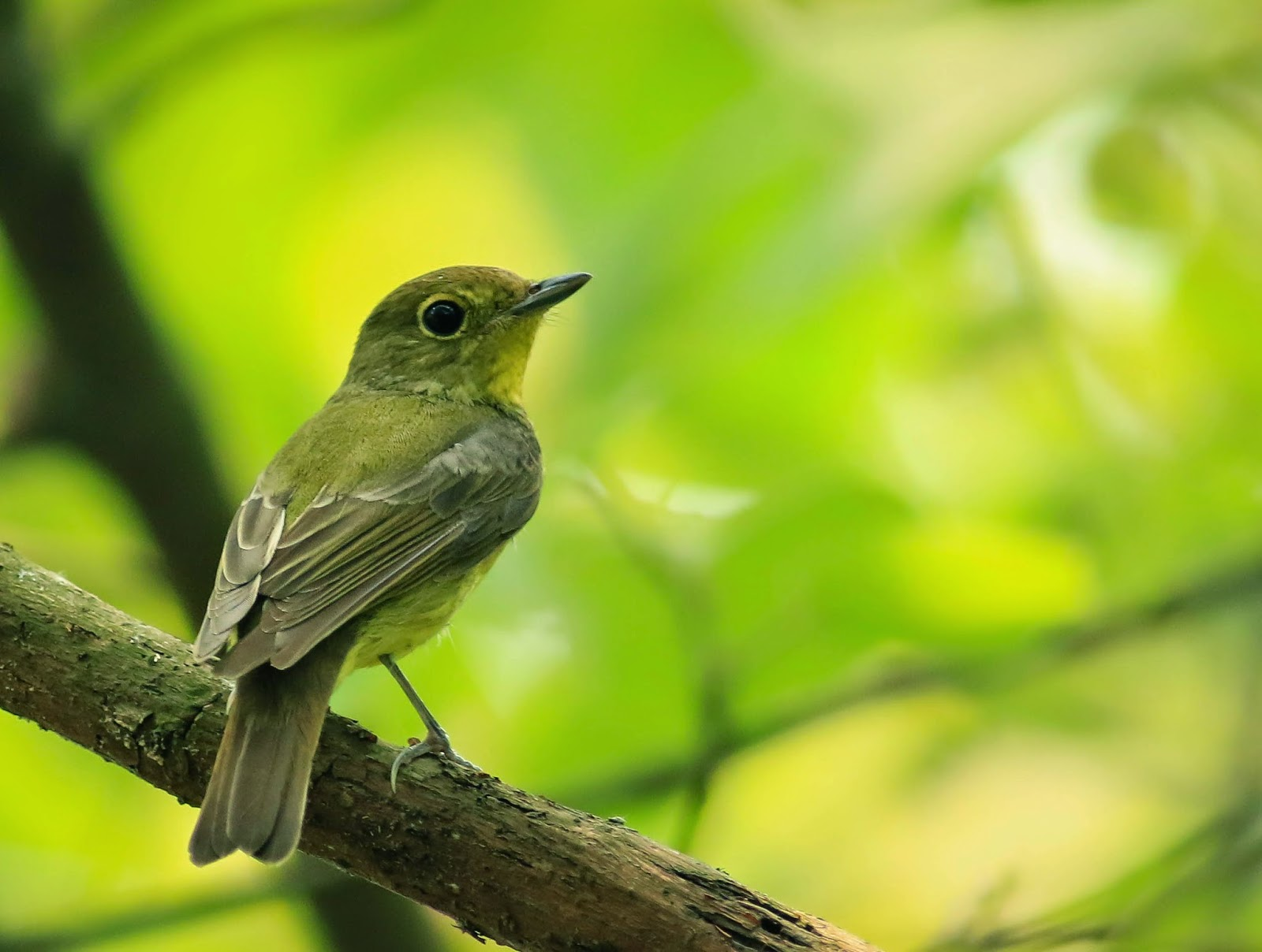 Green backed Flycatcher2