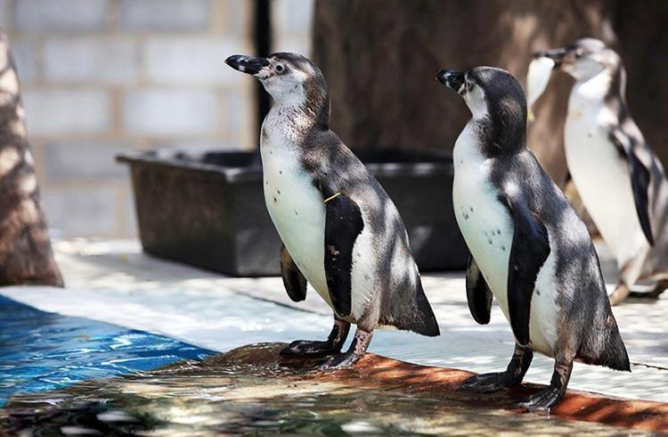 khao kheow open zoo penguins l