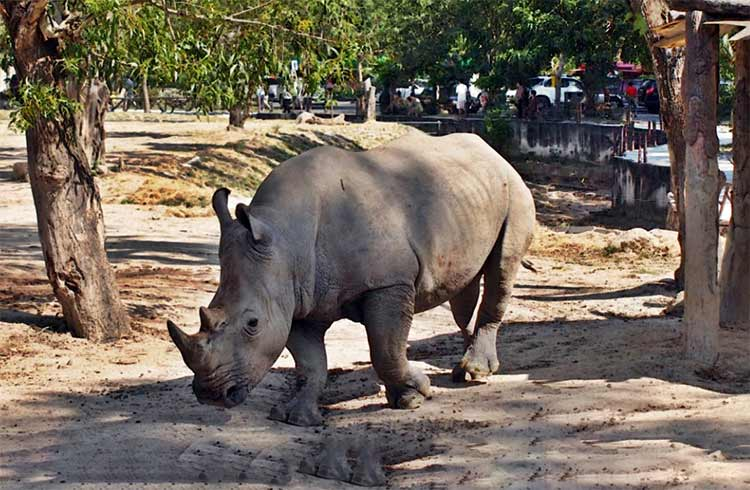 khao kheow open zoo rhino l